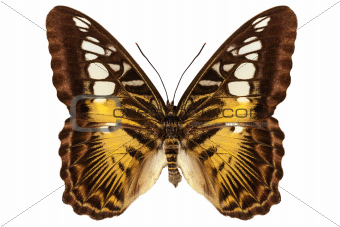 Butterfly species Parthenos sylvia &quot;Clipper butterfly&quot;