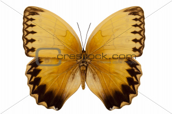 "Butterfly species stichophthalma howqua suffusa ""Jungle Queen Butterfly"""