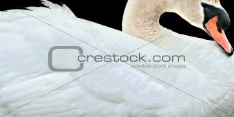 Close Up Of Swan