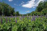A Field Of Lupine
