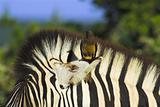 oxpecker on zebra ear