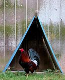 Rooster and Teepee