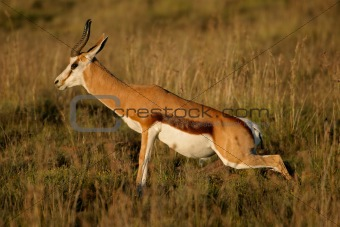 Springbok antelope