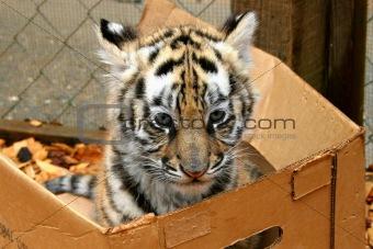 Tiger Cub in Box