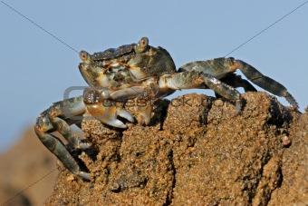 Green rock crab