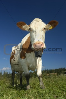 Curious Swiss Cow