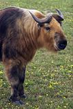 Takin (Budorcas taxicolor)