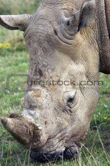 Adult Rhino Eating