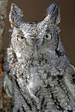 Screech Owl Closeup (white and black)