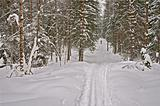 Winter Forest. Skier