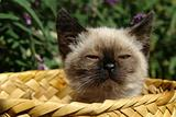 the siamese kitten siting in basket