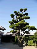 japanese tree in the temple backyard