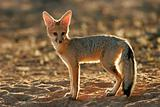 Cape fox