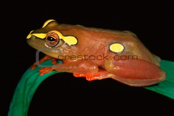 Argus reed frog