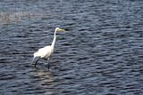 Wading White Egret