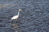 Wading White Egret