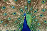 peacock dance closeup