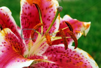 Blooming Amaryllis Flower and Pollen