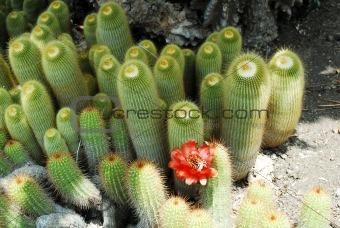 Cactus Notocactus leninghausii