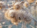 thistle in hoarfrost