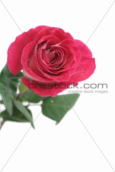 One pink rose on a white background