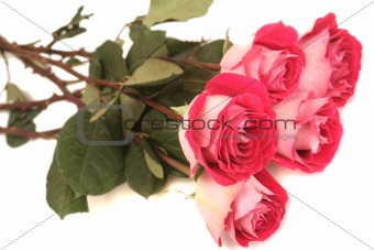 Five pink roses lay on a white background