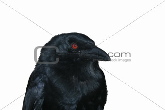 Black raven portrait