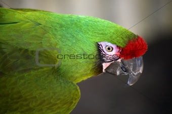 Green Military Macaw Portrait Head Shot