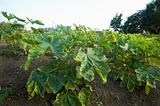 Okra Plantation