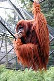Oranguntan Portrait