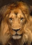 African Barbary Lion; Panthera Leo: Portrait view.