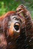 orangutan drinking water