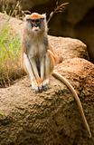 Patas Monkey Looking At You