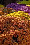 Fall Mums