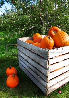 Autumn pumpkins in a apple orchard