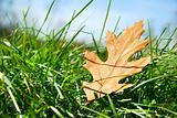 Oak leaf in the grass