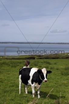 cattle heaven