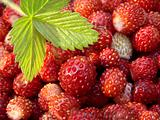 wild strawberry 1
