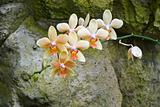 Phalenopsis Orchid