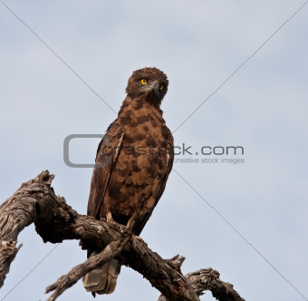 Brown snake eagle sitting on a perch