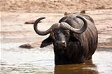 Buffalo bull standing in water