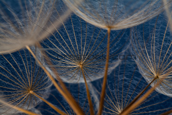 Dandilion seeds against a blue background