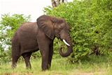Elephant bull eating green leaves