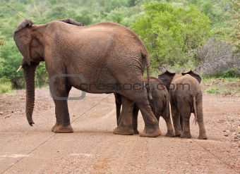 Elephant mother and two babies