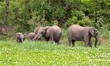 Elephants eating green grass