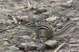 Siberian Chipmunk