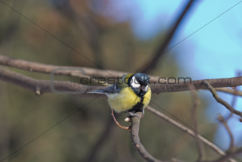 Great Tit on a Bush Branch