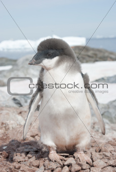 Moulting Adelie penguin chick.