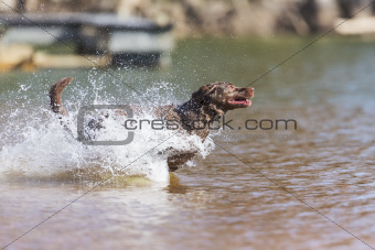 Labrador Retrieving Decoys