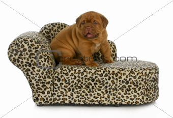 puppy on the furniture